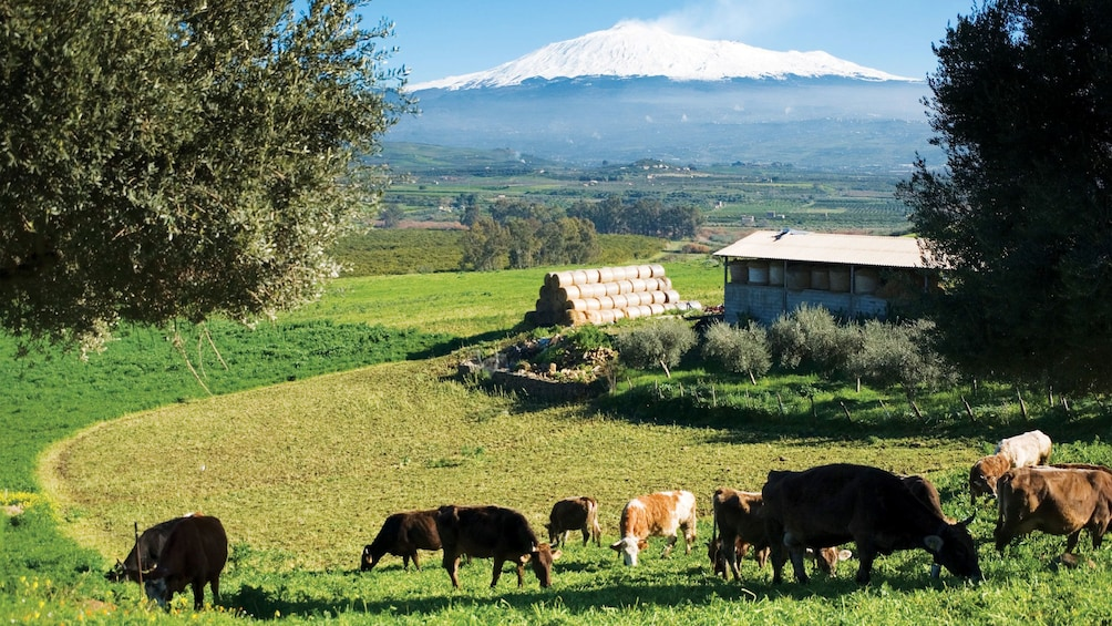 Show item 2 of 9. Herd of cattle on a farm with Mount Etna in the distance in Sicily