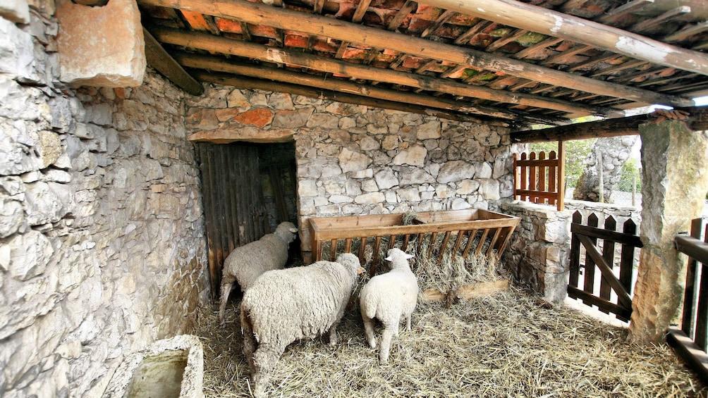Sheep on a farm near Lisbon