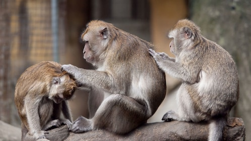 Group of monkeys cleaning each other in Gibraltar