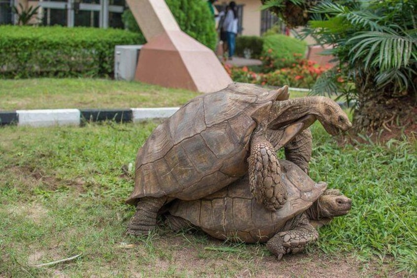 Show item 5 of 5. Giant Tortoises (96 years old)