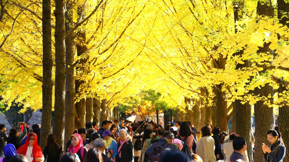 Show item 5 of 5. People walking around trees with bright yellow leaves at Nami Island