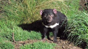 Tasmanian Devil Night Feeding Tour