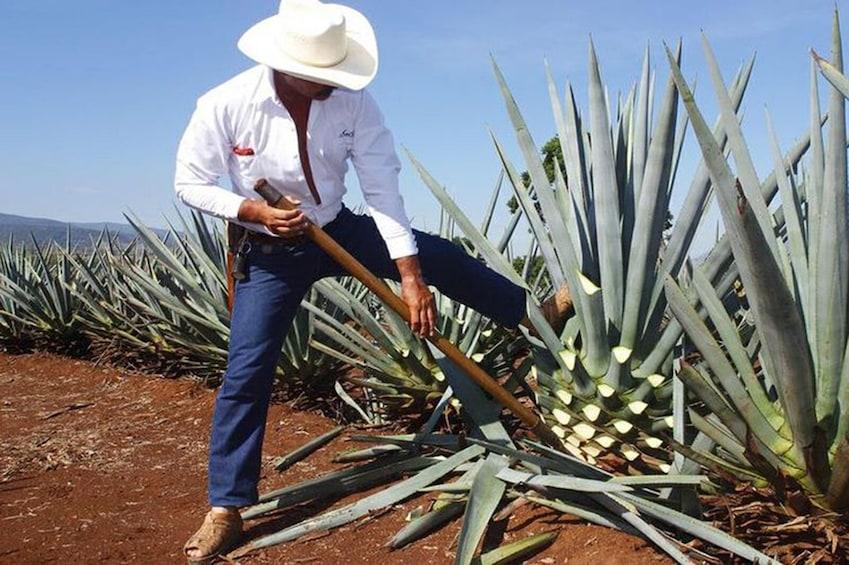 Cargar foto 1 de 8. Tequila with Distillery Tour
