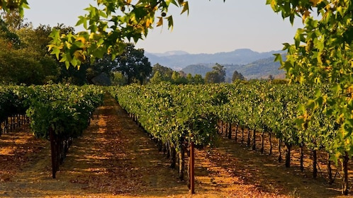 A vineyard in Temecula