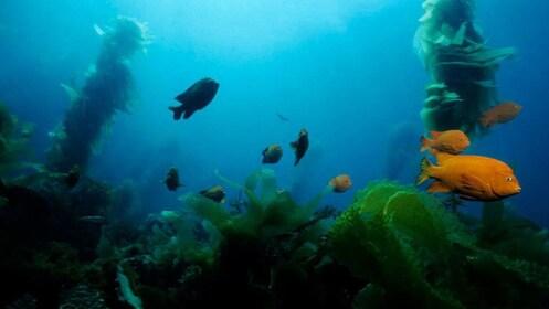 Fish swimming past kelp in San Diego
