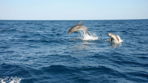A pair of dolphins leaping out of the water in Algarve