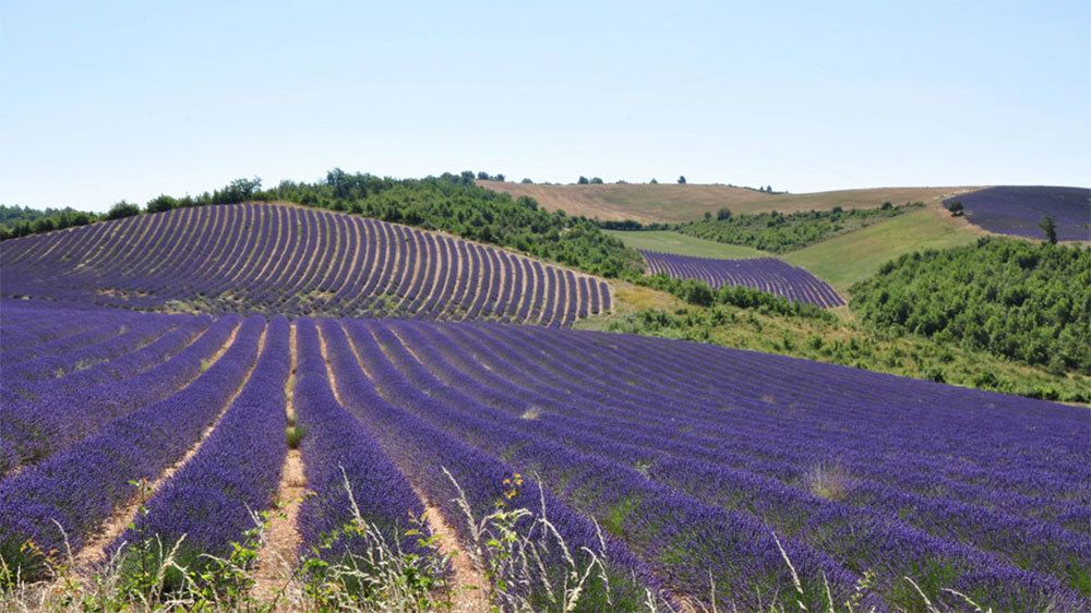 field of lavender in France