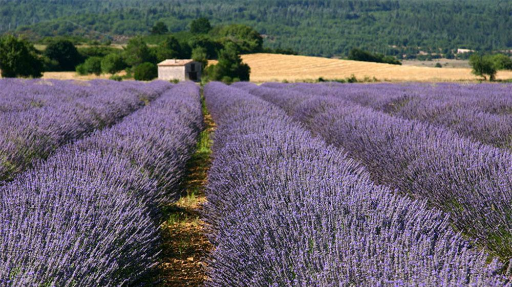 View of the rolling lavender fields in Luberon