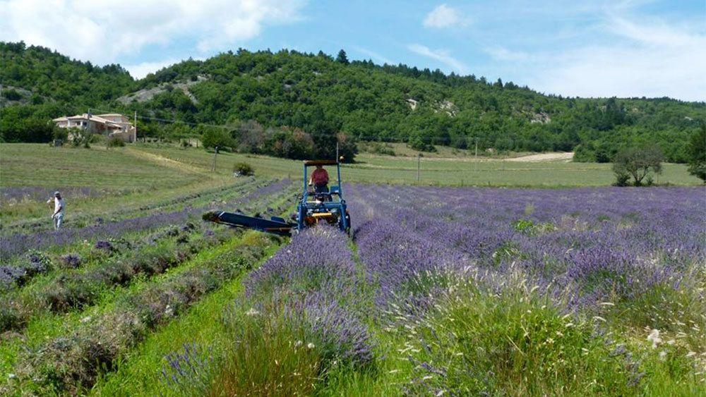 harvesting the lavender field in France