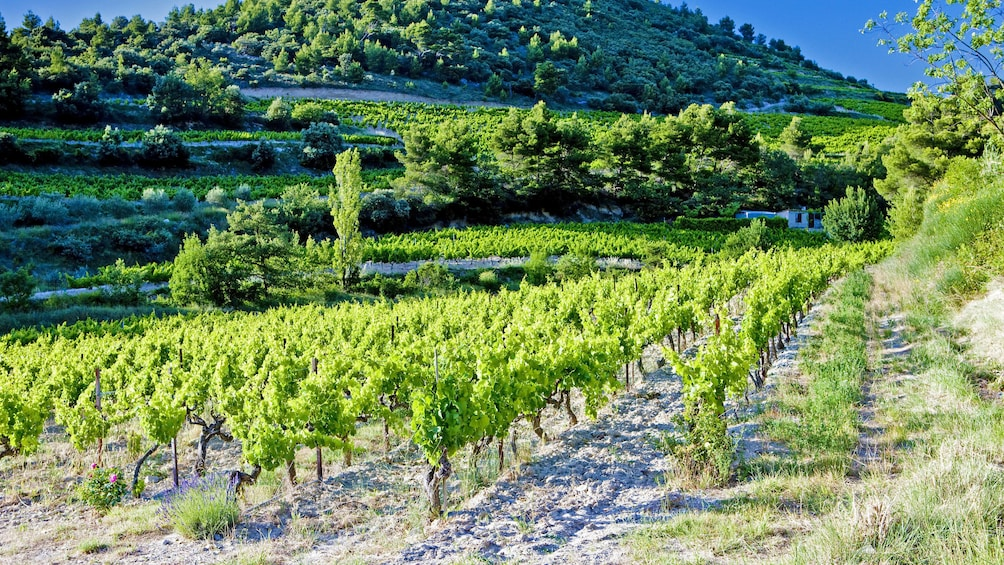 Show item 1 of 5. Patch of vineyard in France
