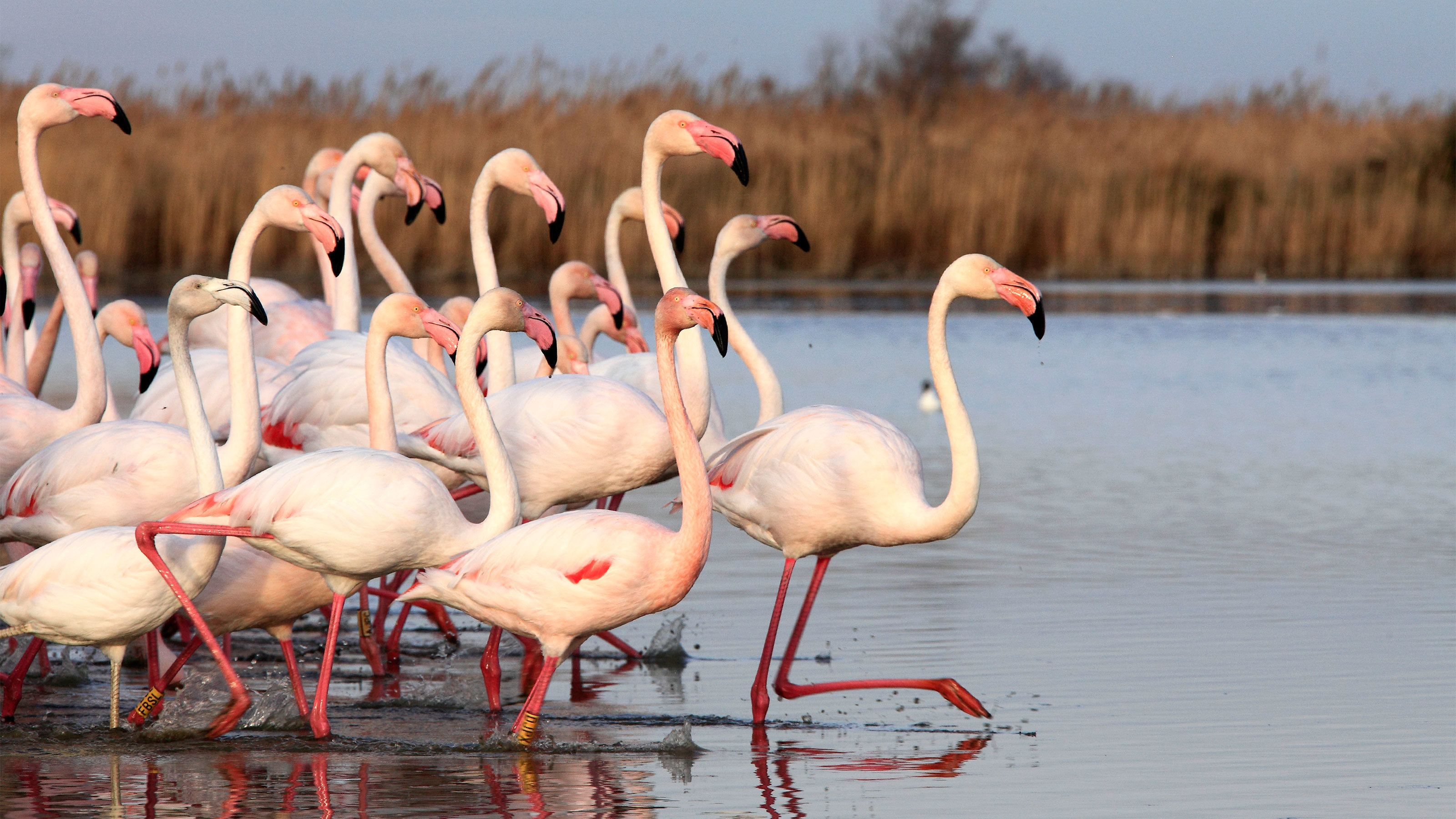 flock of flamingos treading in water in France