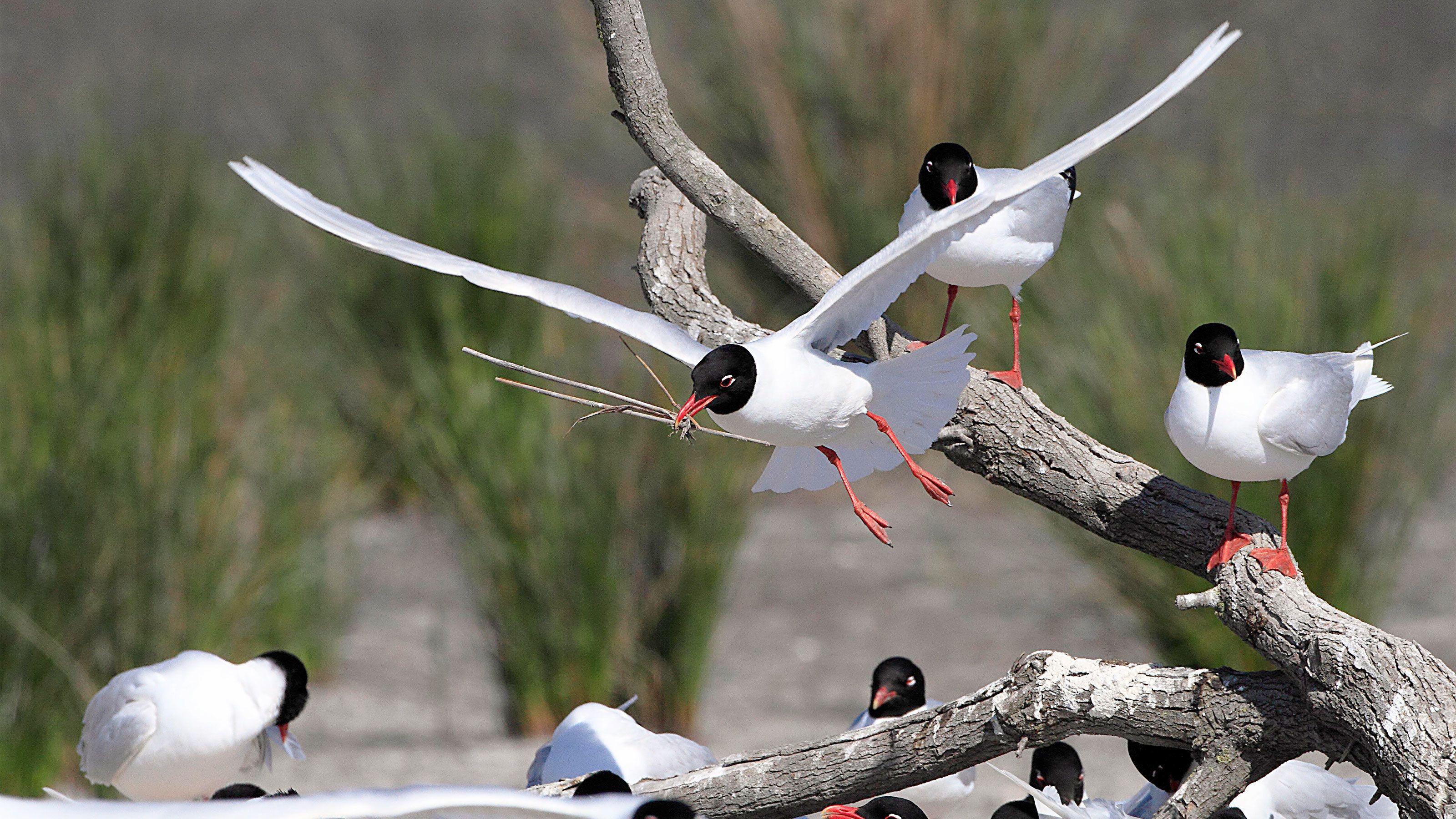 Flock of black-headed gulls in Provence