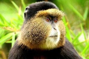4 Days Rwanda Safari with Golden Monkeys trekking
