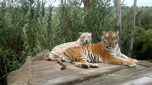 Tigers at the African Safari Zoo in Puebla