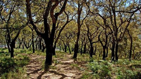 Field of trees on Serra do Caldeirão Mountain in Algarve
