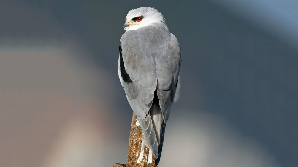 Charger l'élément 3 sur 6. Black-shouldered Kite with grey feathers and red eyes at Castro Marim Nature Reserve in Algarve