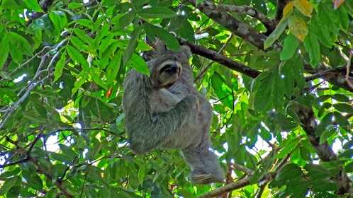 Sloth spotted at the Carara National in Jaco
