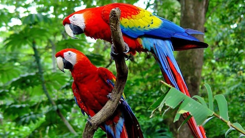Colorful parrots at the at the Carara National in Jaco