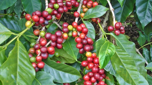 Picking coffee beans in Jaco