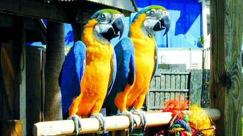 Two blue Macaw parrots at the Seaquarium in Miami