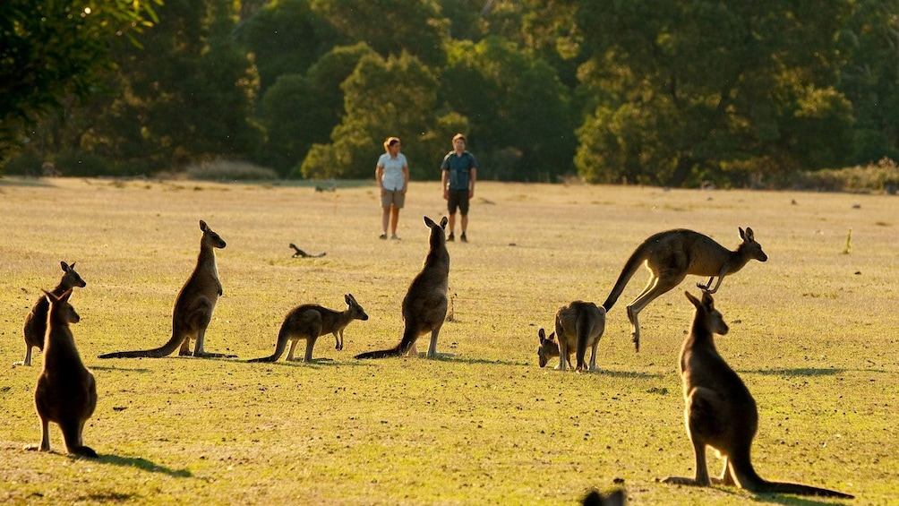 Show item 5 of 10. Kangaroos in a field at Grampians National Park