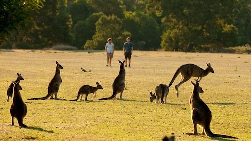 Kangaroos in a field at Grampians National Park