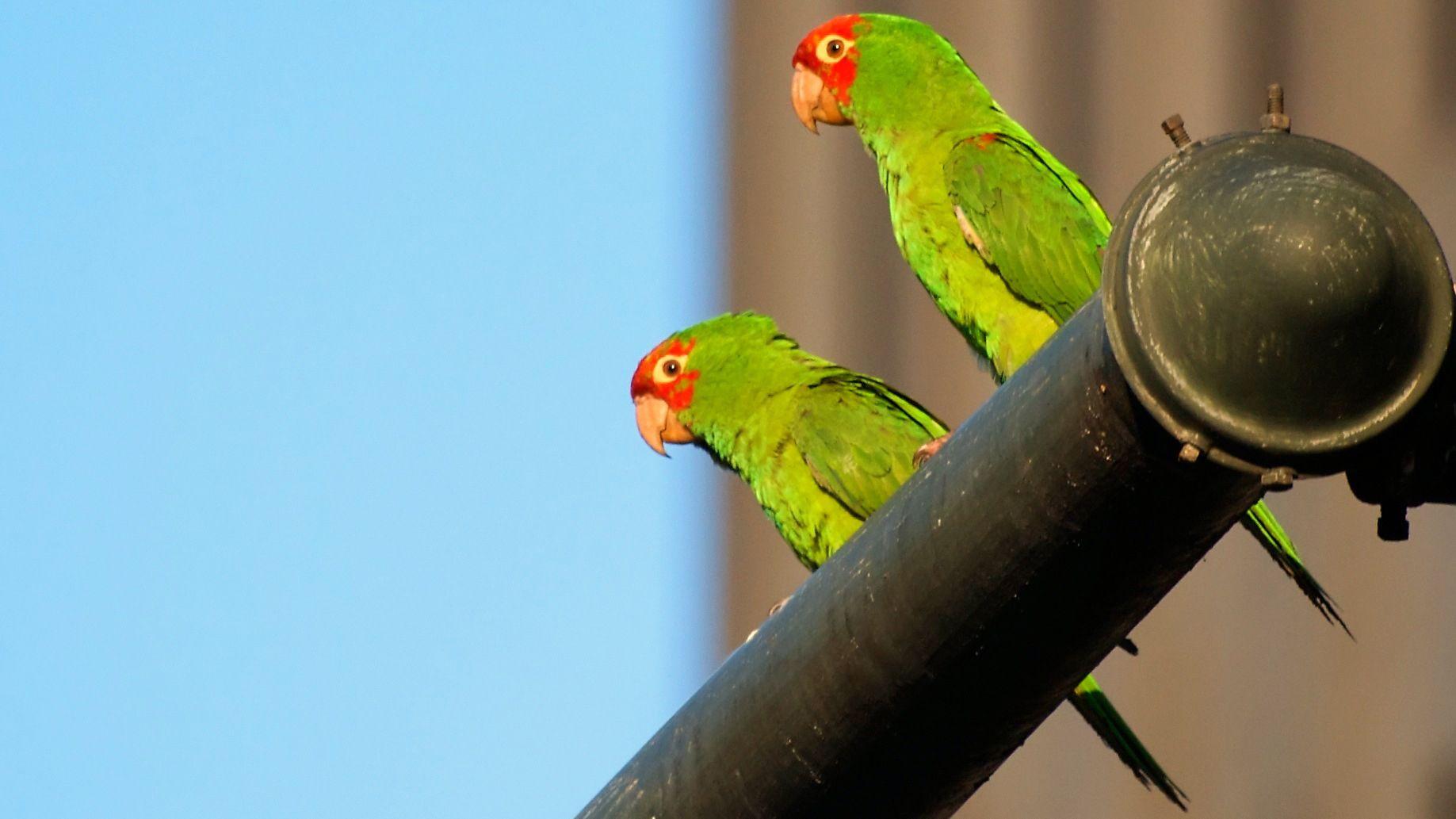 Wild Parrots of Telegraph Hill Walking Tour