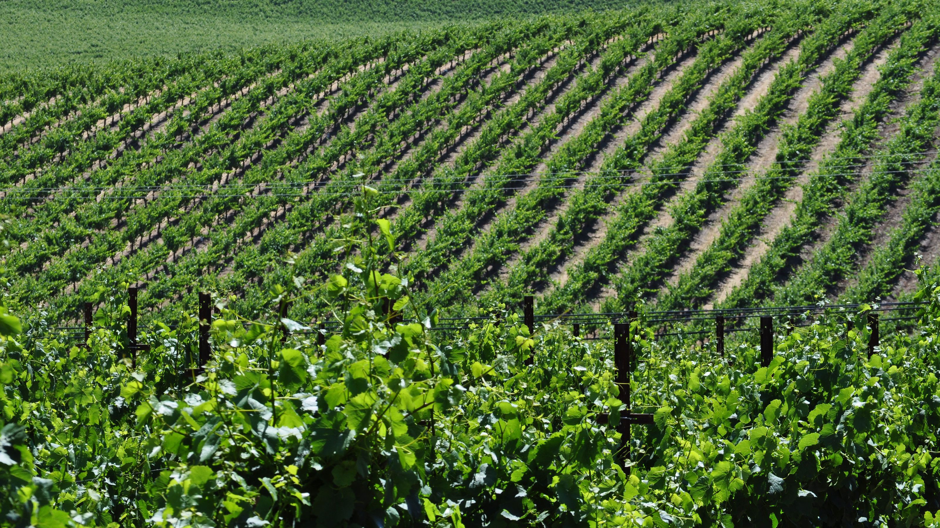 Rows of vines at a vineyard in Napa Valley