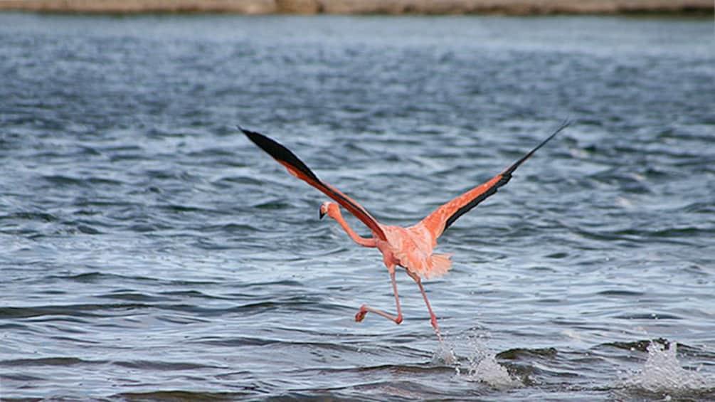 Flamingo taking flight in Bonaire