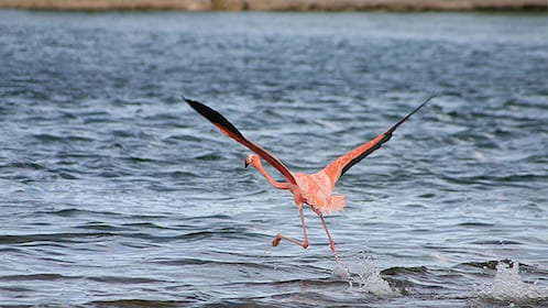 Flamingo taking flight in Bonaire