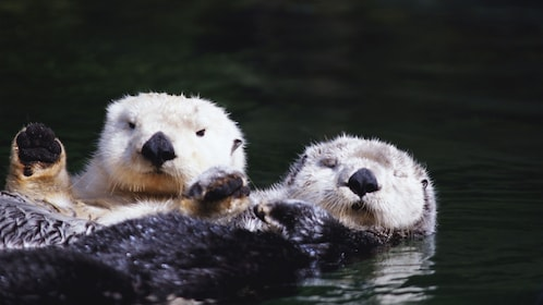 Pair of otters at a zoo in Australia