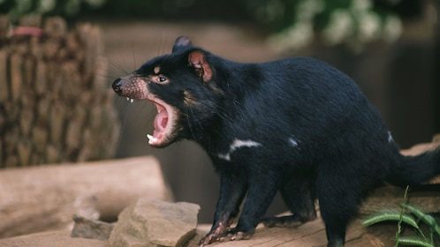 Tasmanian Devil at a zoo in Australia