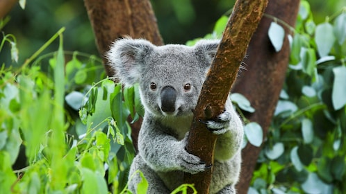 Koala bear perched in a tree in Australia