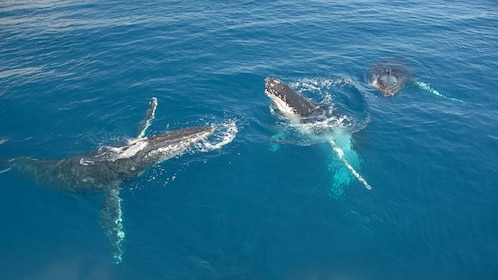 Three humpback whales surfacing in Queensland