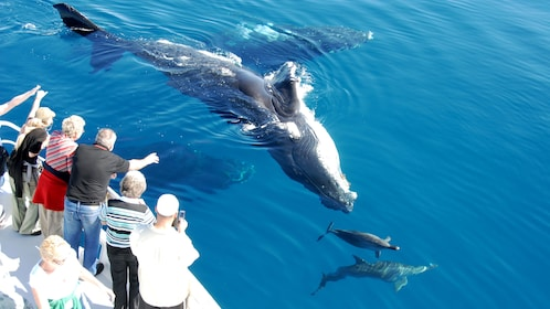 Humpback whales and dolphins swimming with the boat in Queensland