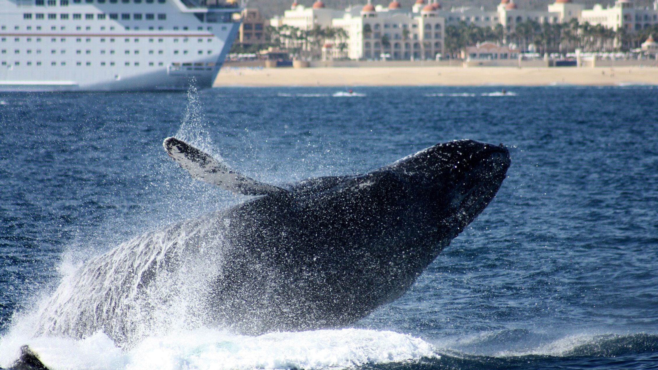 whale surfacing near the observation cruise in Los Cabos