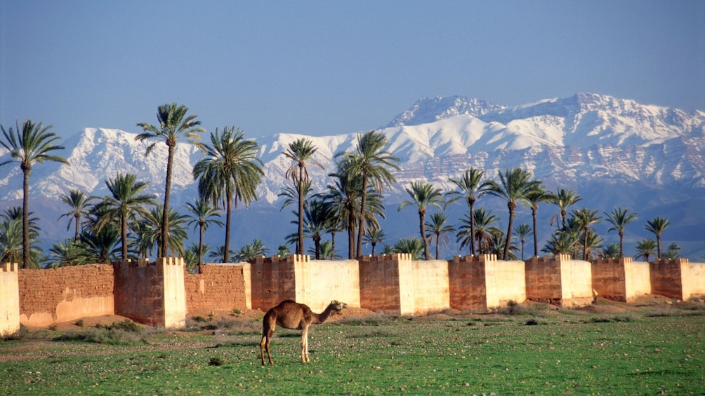 Show item 4 of 5. One lone camel in Marrakech