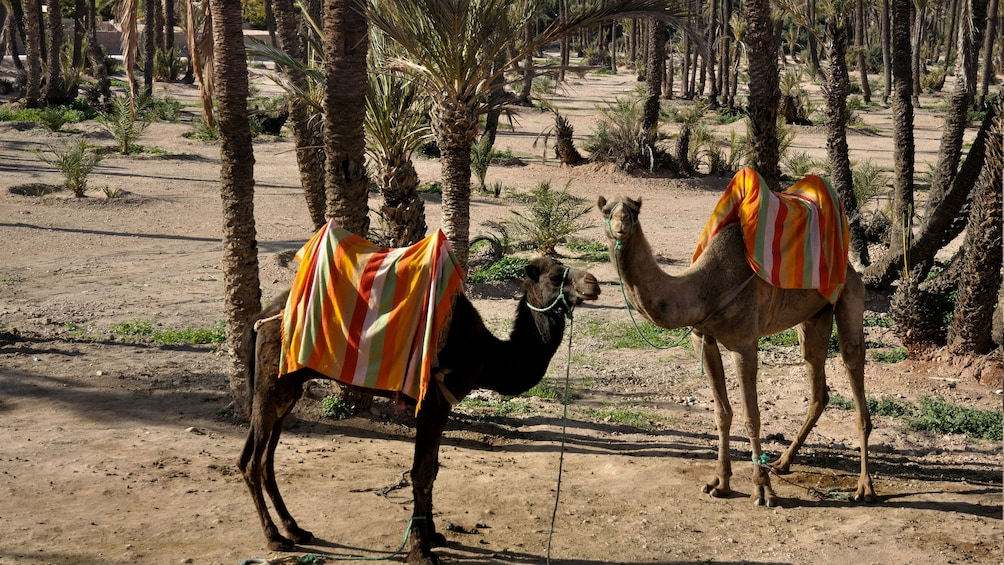 Show item 3 of 5. Two camels in Marrakech