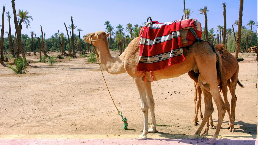 Show item 1 of 5. Palm Grove Camel Ride in Marrakech