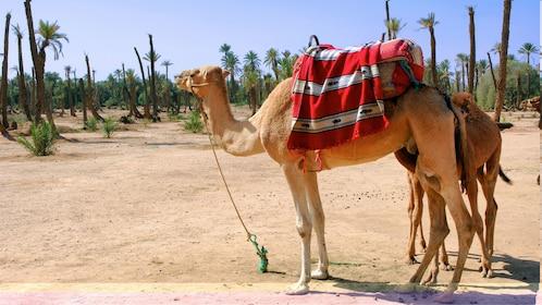 Palm Grove Camel Ride in Marrakech