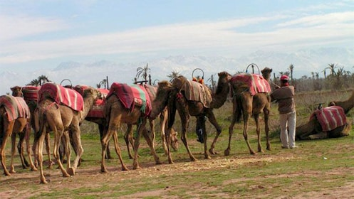 Trainer getting the camels ready for the Palm Grove Camel Ride in Marrakech