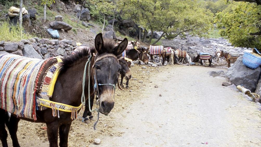 Charger l'élément 2 sur 5. Donkeys at Mount Toubkal in Marrakech