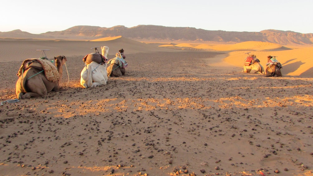 Show item 5 of 5. Camels resting in the Zagora Dunes in Marrakech