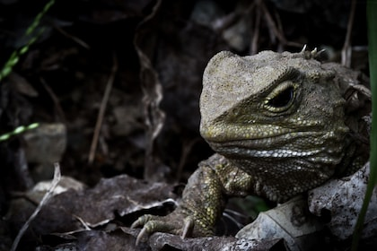 Tuatara - Photo by Janice McKenna (1).jpg