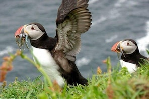 Puffin Colony Mykines Island, The Faroe Islands