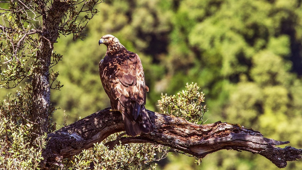 Hawk in a tree in Barbagia
