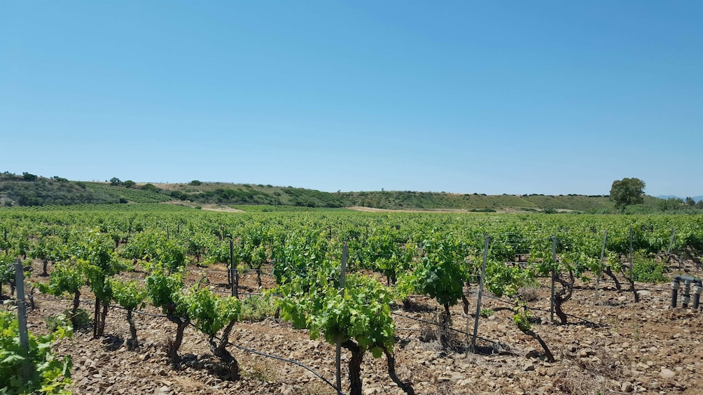 Show item 3 of 9. Close view of the vineyard of Cagliari on a beautiful day