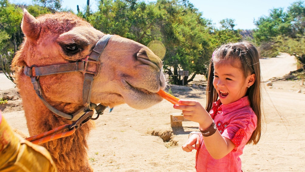 Child feeding carrots to a camel in Los Cabos