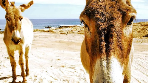 Mules wandering about in Los Cabos