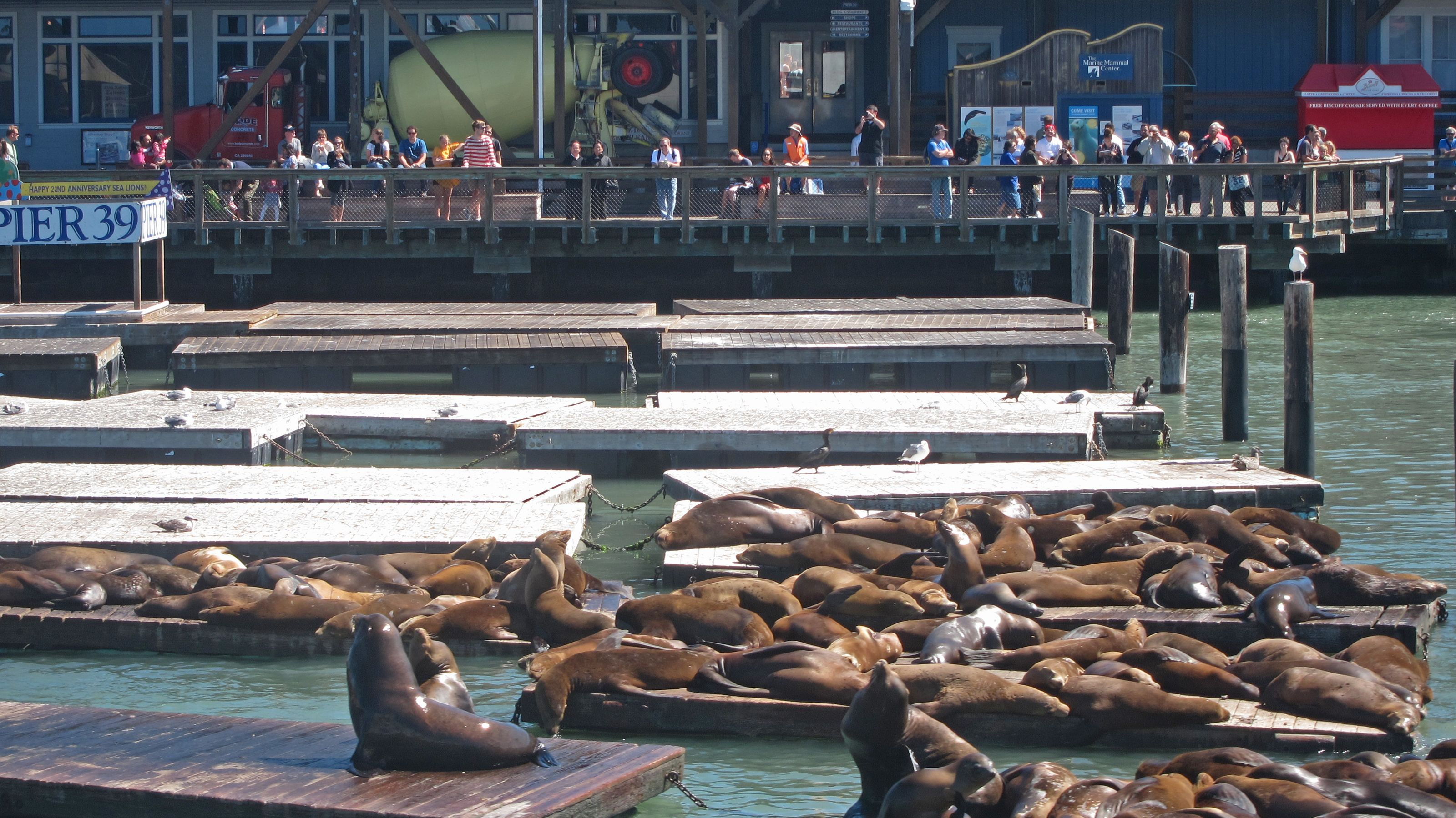 Seal lions hauled out on piers in San Francisco